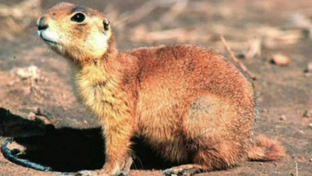 A win for people vs. the prairie dog
